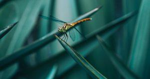 Das Bild zeigt eine Libelle auf einem Grashalm